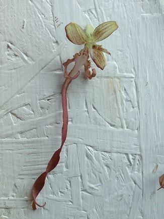 Orchis bouc himantaglossum hircinum 4 326x434 Observation dorchidées sauvage en Poitou Charente